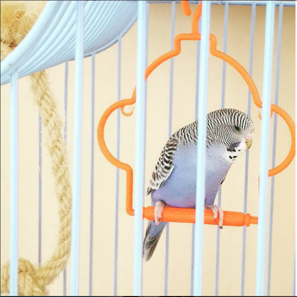 papagalos_mple_portokali